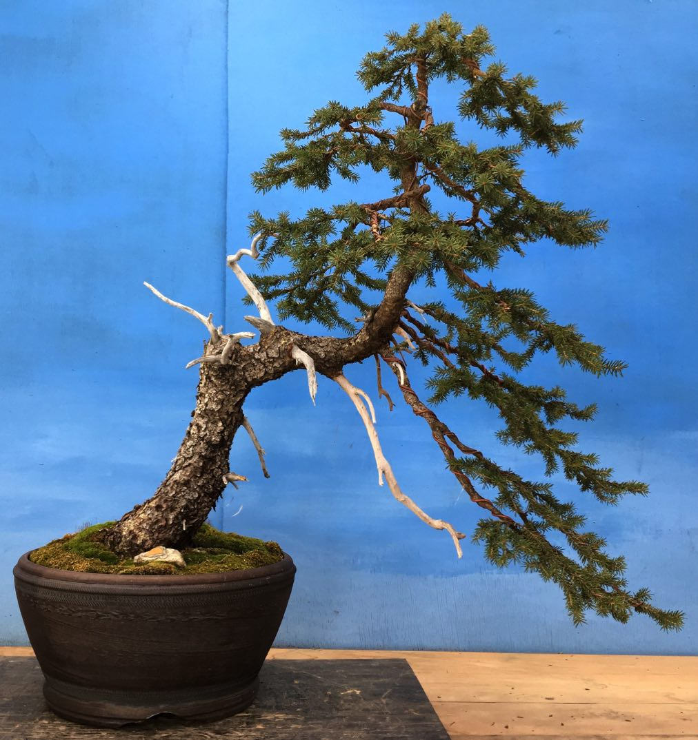 Golden Arrow Bonsai